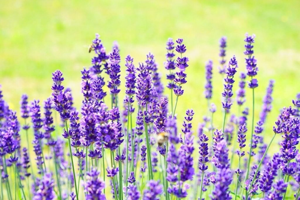 French Lavenders (Lavandula dentata)