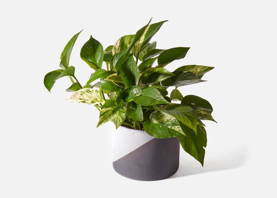 Pothos Plant Toxicity