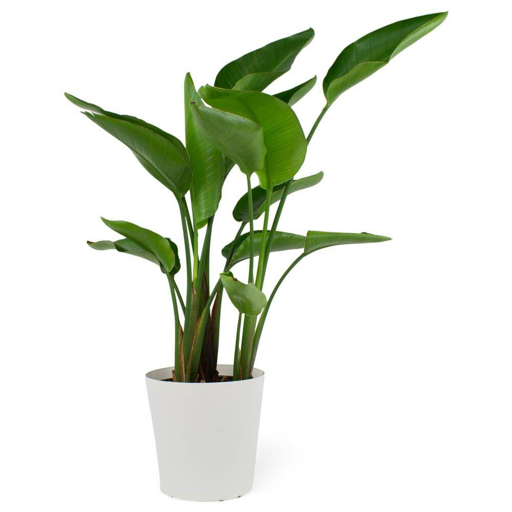 Home Depot Bird of Paradise Plants for sale