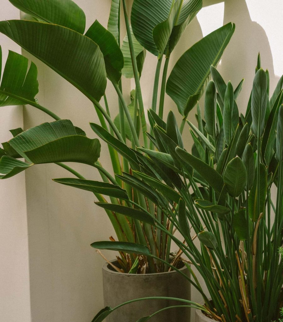 How often should I repot my Bird of Paradise Plant