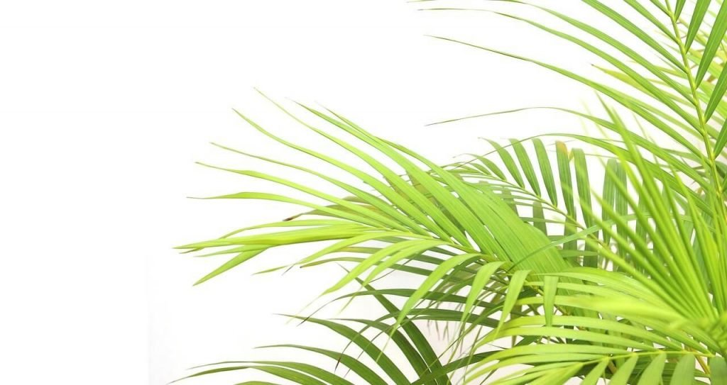 How to Care for Indoor Palm Trees at Home