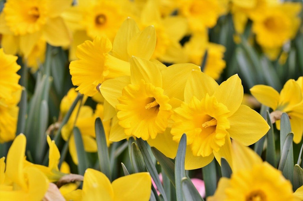 How to Care for Narcissus Flowers