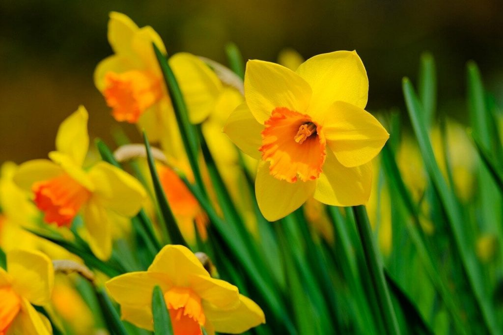 How to Grow Narcissus Flowers at Home