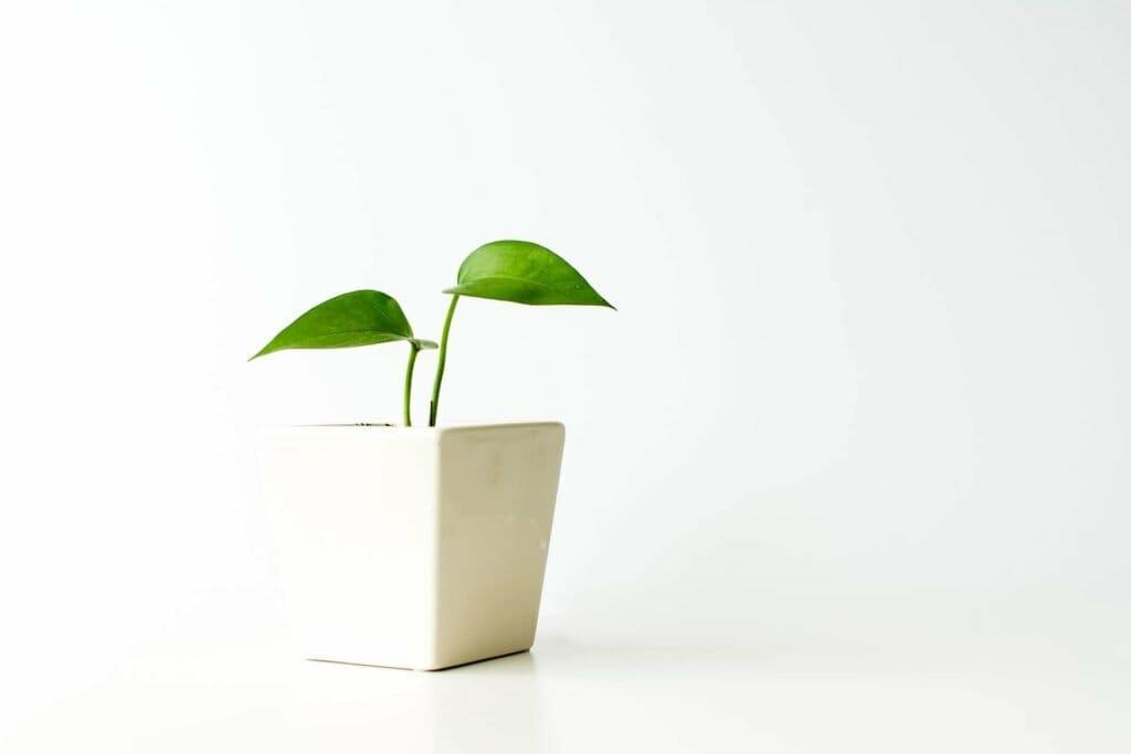 How to Grow Pothos Plants