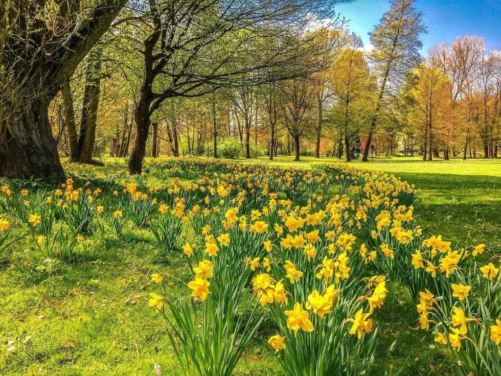 How to Plant Narcissus Flowers