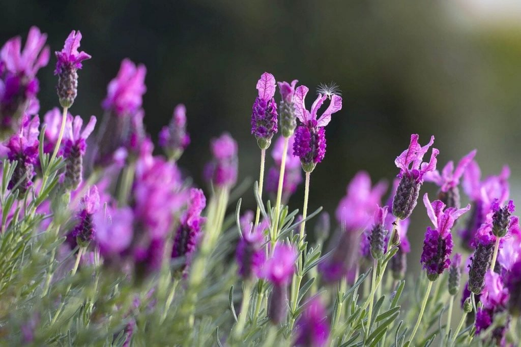 How to grow Lavender Flowers at home