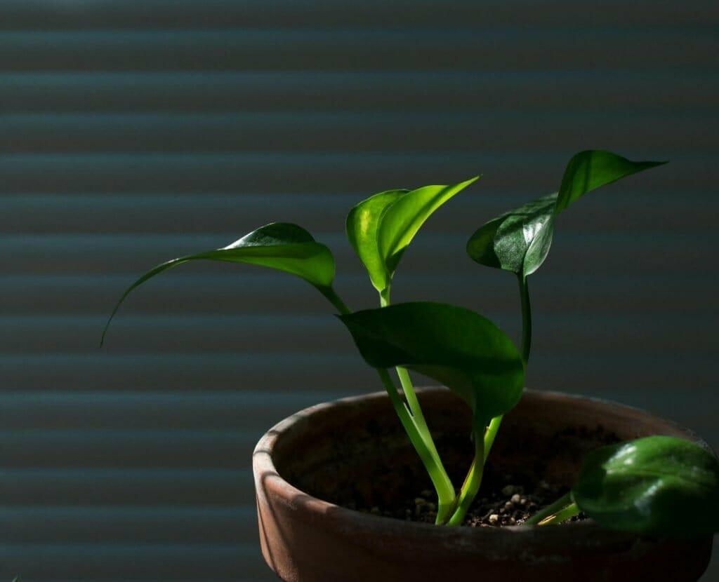 How to propagate pothos plants