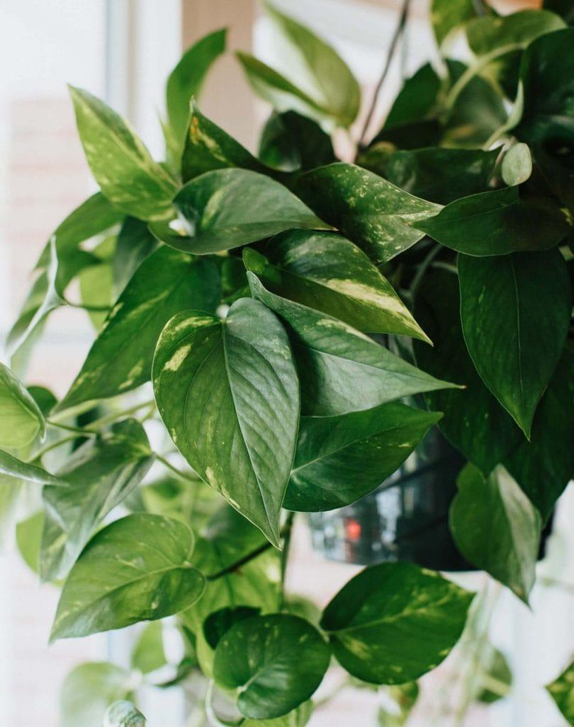 How to prune pothos plants