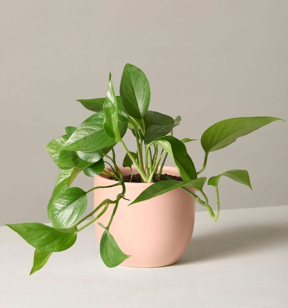 Jade Pothos from The Sill