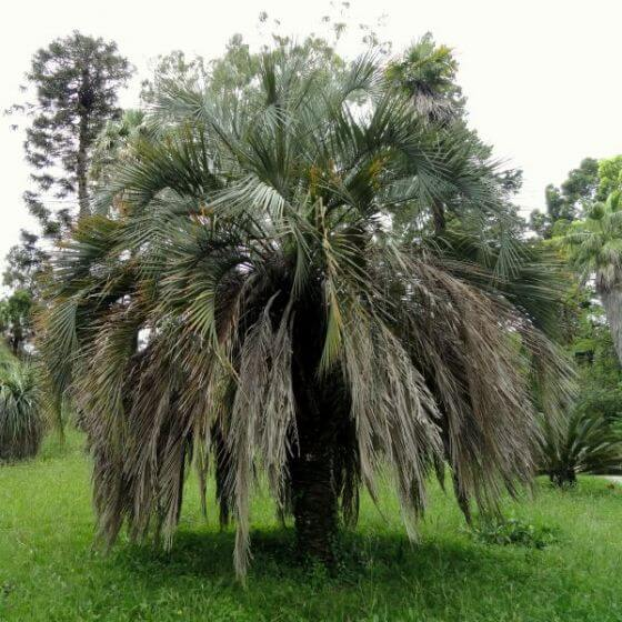 Jelly Palm Trees for Sale at Nature Hills