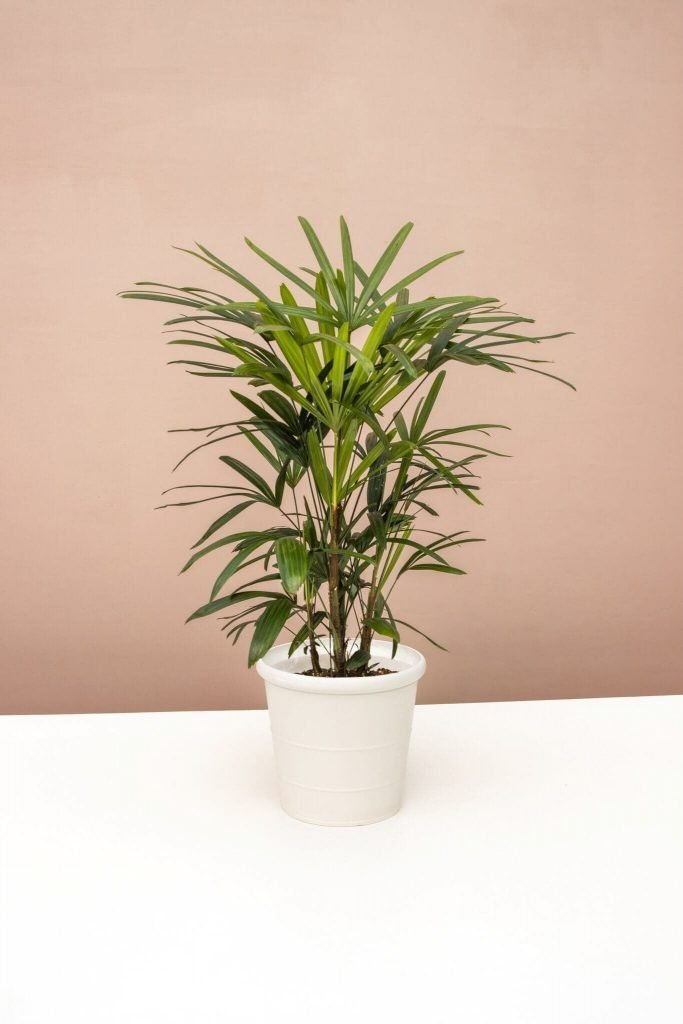 Lady Palm Trees for Sale at Lively Root