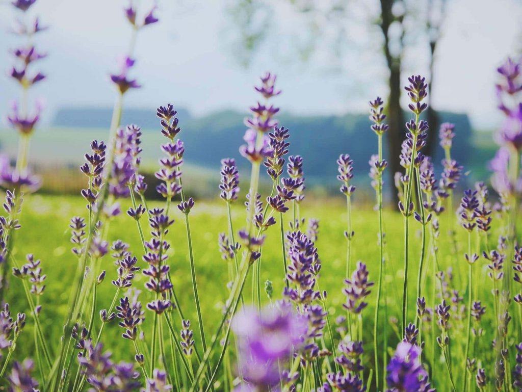 Lavender Flowers Uses and Benefits