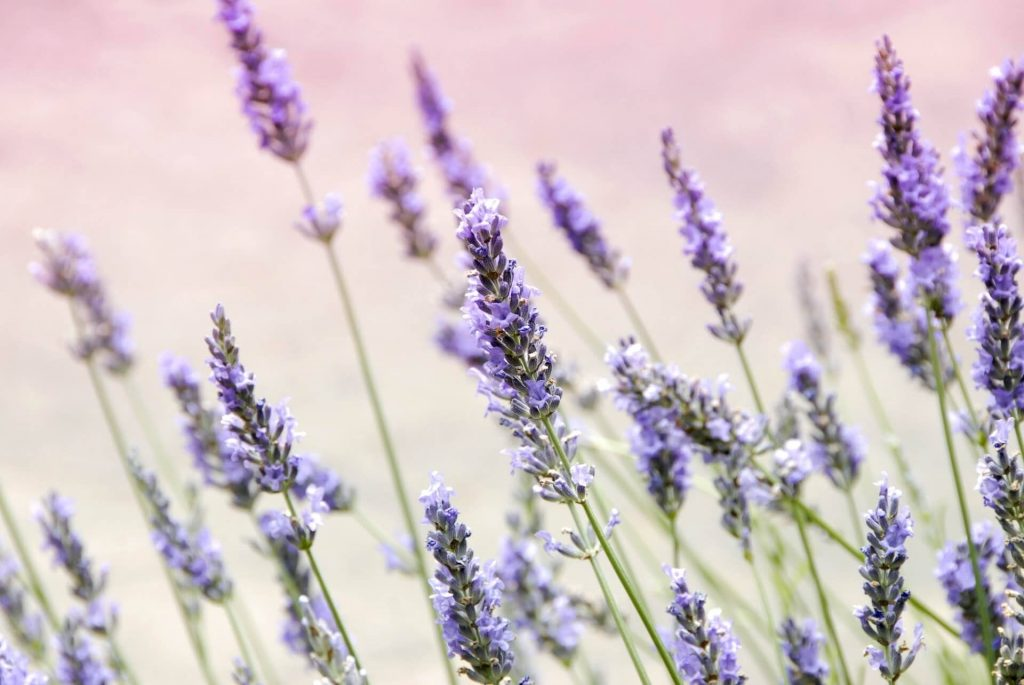 Lavender Flowers meaning and symbolism