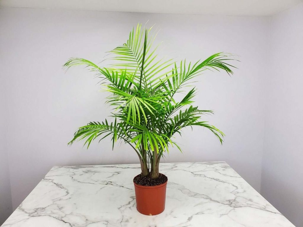 Majestic Palm at Etsy