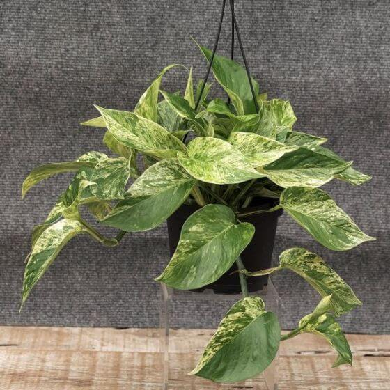 Marble Queen Pothos from Nature Hills Nursery