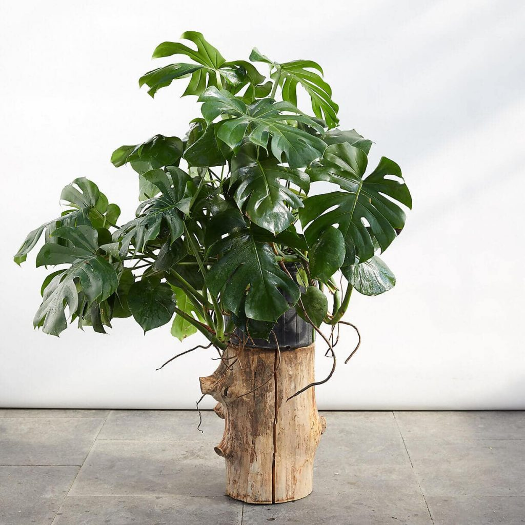 Monstera Plants for Sale at Terrain