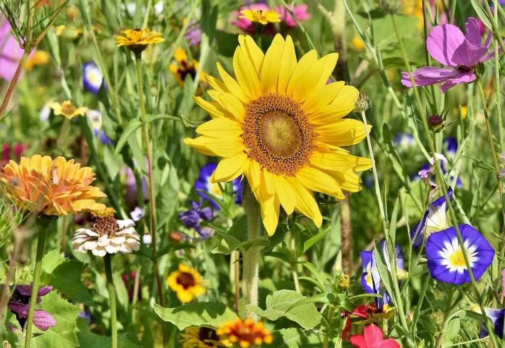 Most Popular Types of Sunflowers