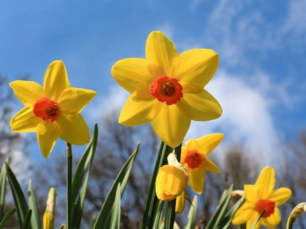 Narcissus Flower Symbolism and Colors