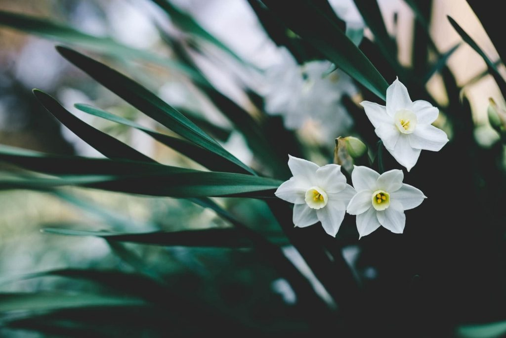 Narcissus Flowers in Art and Literature