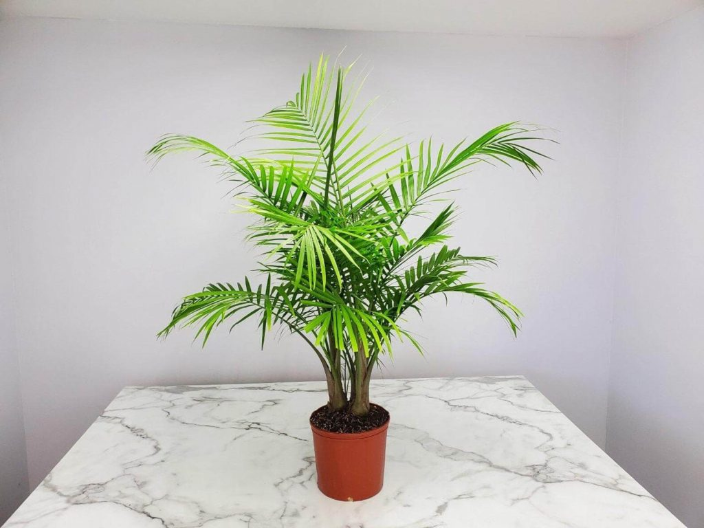 Palm Trees for Sale Etsy