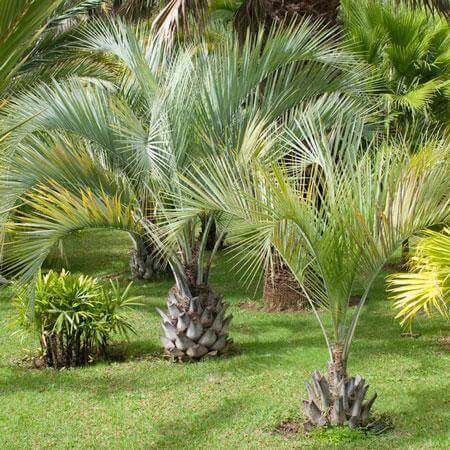 Pindo Palm Tree delivery at Fast Growing Trees