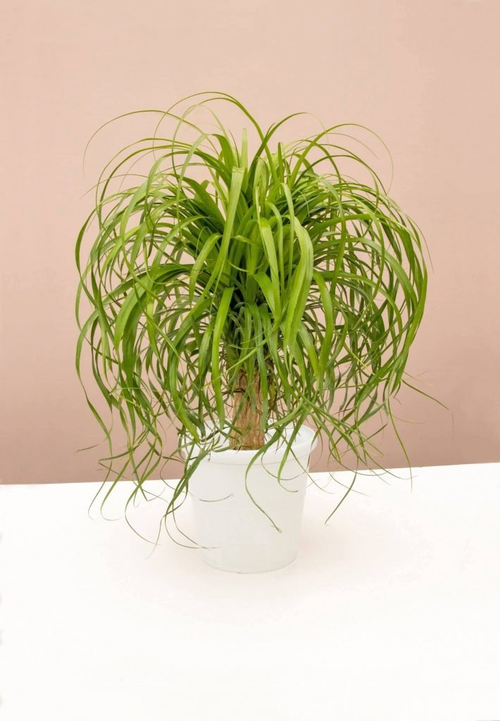 Ponytail Palm Tree delivery at Lively Root