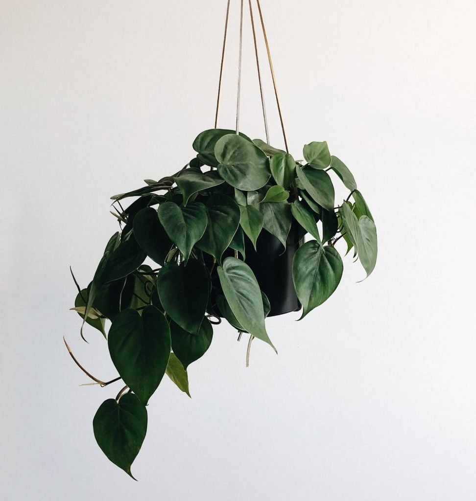 Pothos Plants Meaning and Symbolism