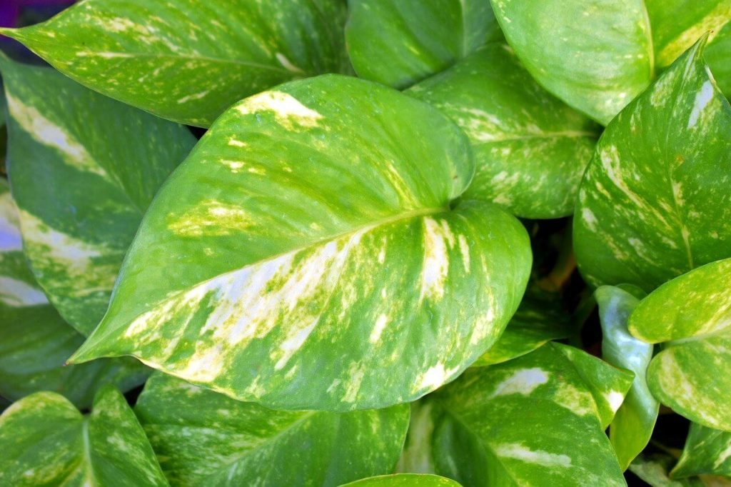 Pothos Plants Pest and Disease Considerations