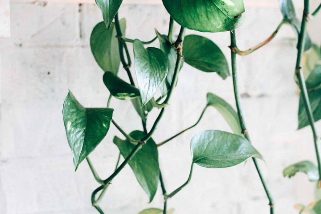 Pothos Plants Uses and Benefits