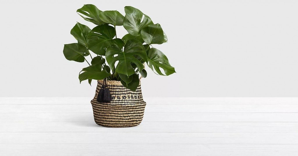 ProFlowers-Monstera-Plant-Same-Day-Delivery-Nationwide-USA
