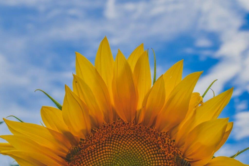 Religous and Cultural Sunflower Symbolism