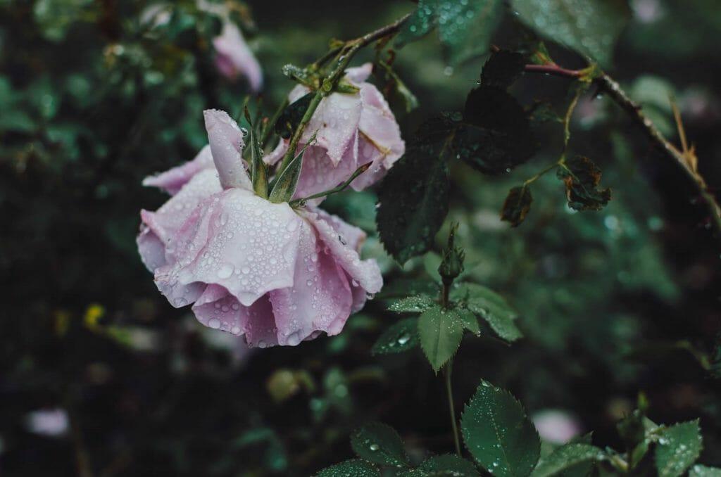 Remove broken stems in your garden after heavy rain