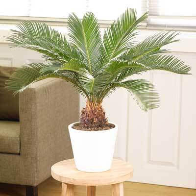 Sago Palm Trees for Sale at Brighter Blooms