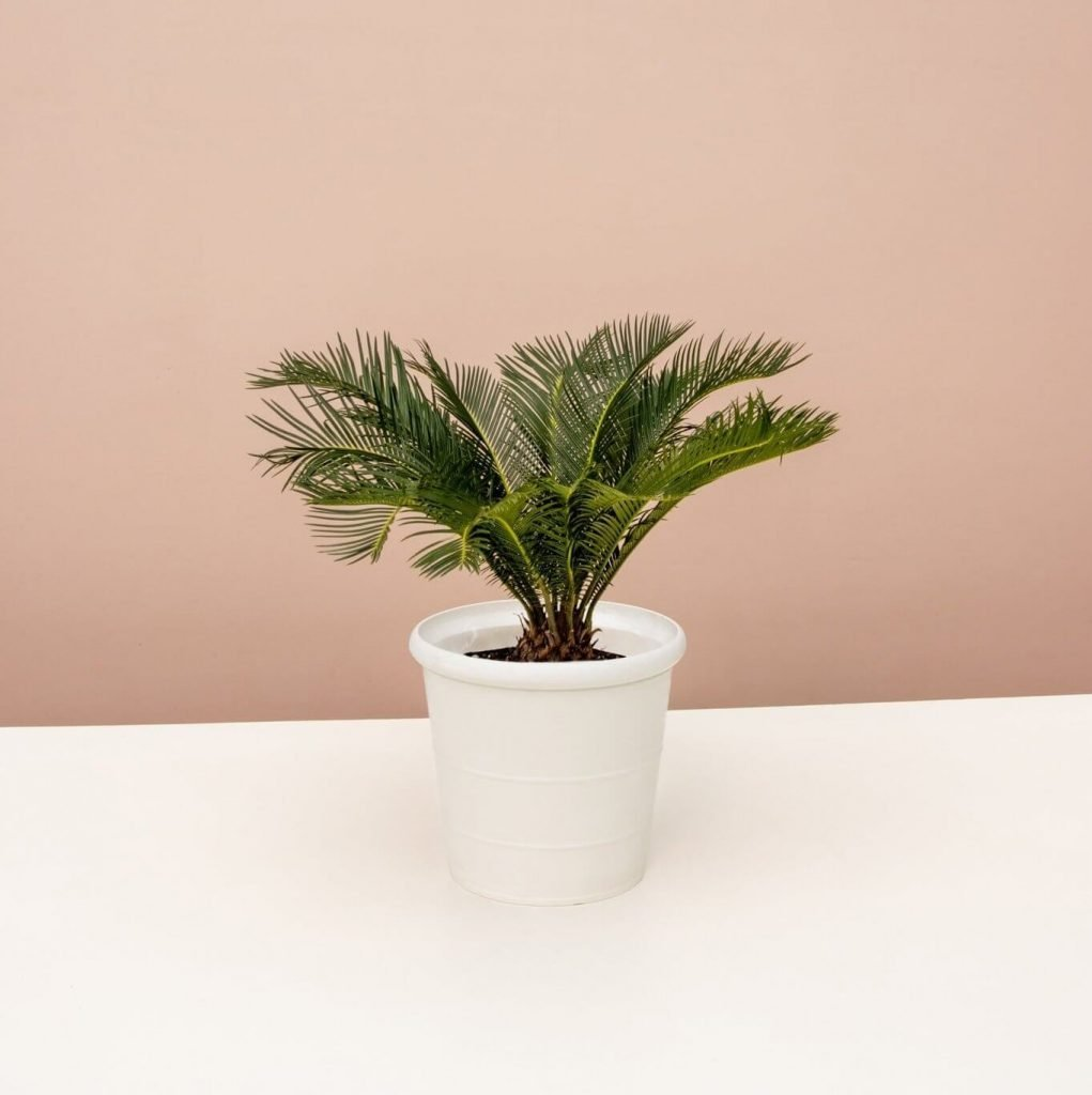 Sago Palm at Lively Root
