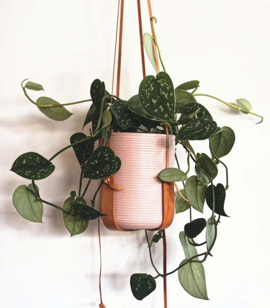 Satin Pothos Plants