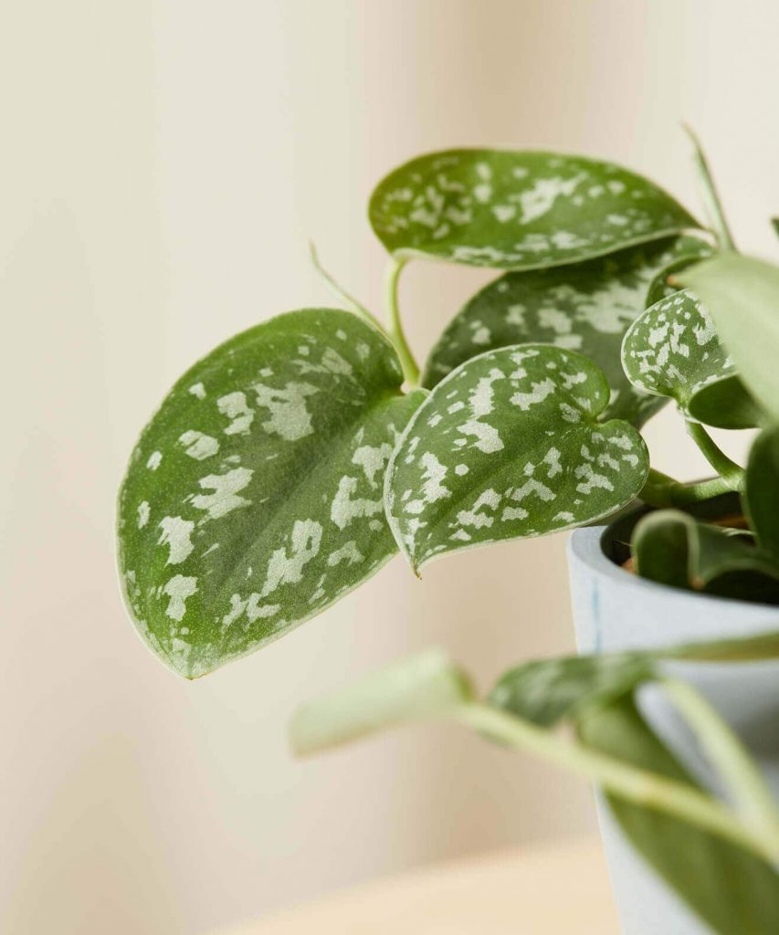 Silver Pothos from Bloomscape