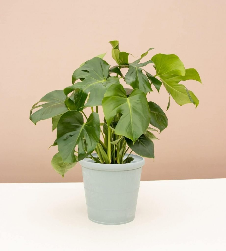 Split Leaf Philodendron for Sale at Lively Root
