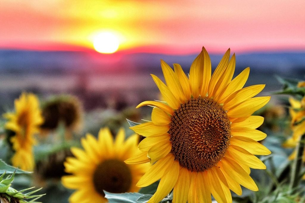 Sunflower Symbolism and Colors