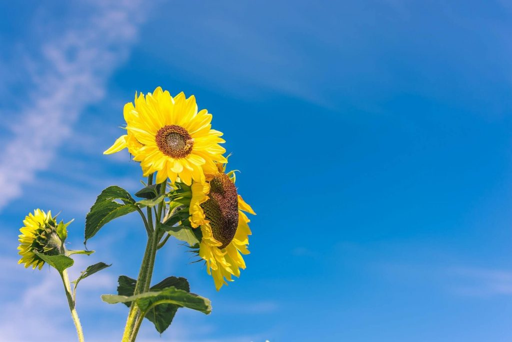 Sunflower Uses and Benefits