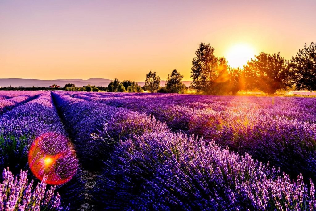 Ultimate Guide to Lavender Flowers Meaning and Symbolism