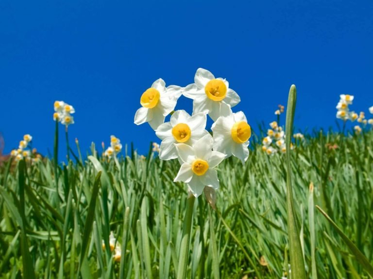 Ultimate Guide to Narcissus Flower Meaning and Symbolism