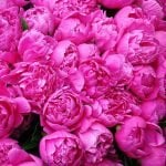 Ultimate Guide to Peony Flower Meaning and Symbolism