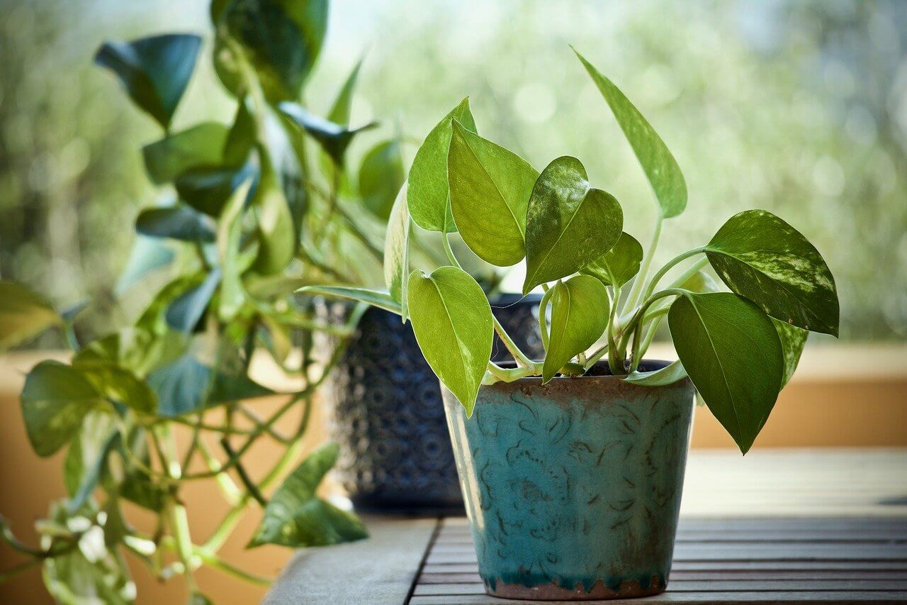 Ultimate Guide To Pothos Plants Types Growing Tips Petal Republic