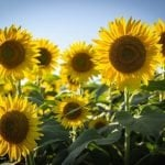 Ultimate Guide to Sunflower Meaning and Symbolism
