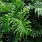 Ultimate Split Leaf Philodendron Care Guide