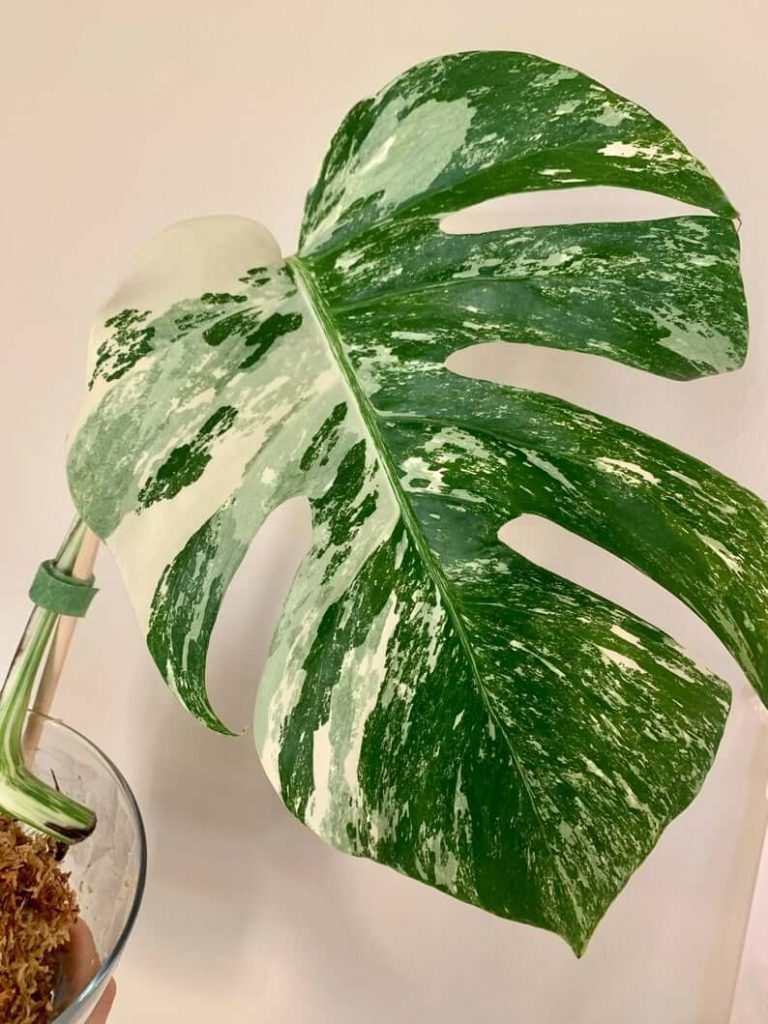 Variegated Monstera Plants for sale at Etsy