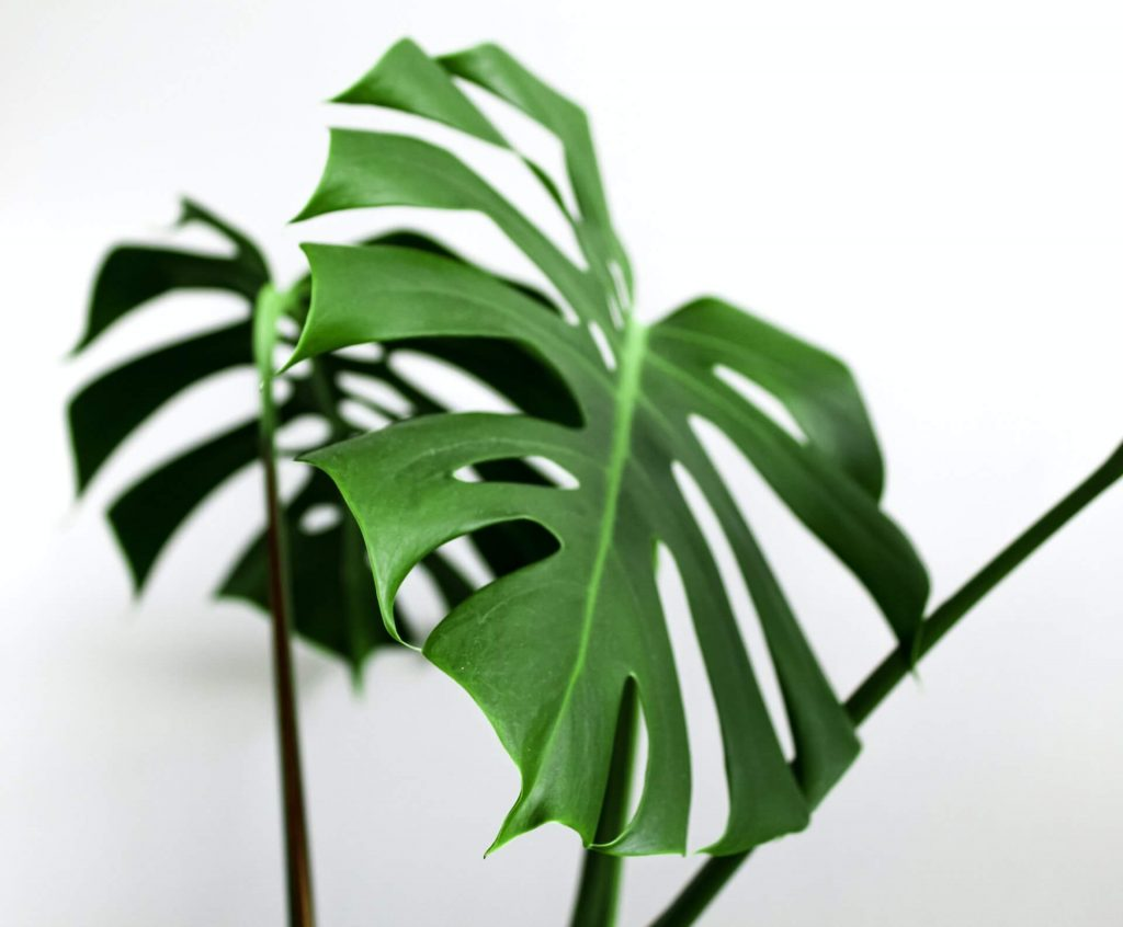 Where to find the best Montera Plants for Sale in the USA