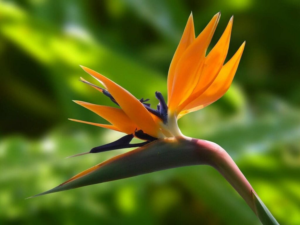 Will my Bird of Paradise Plant Bloom at Home (strelitzia reginae)