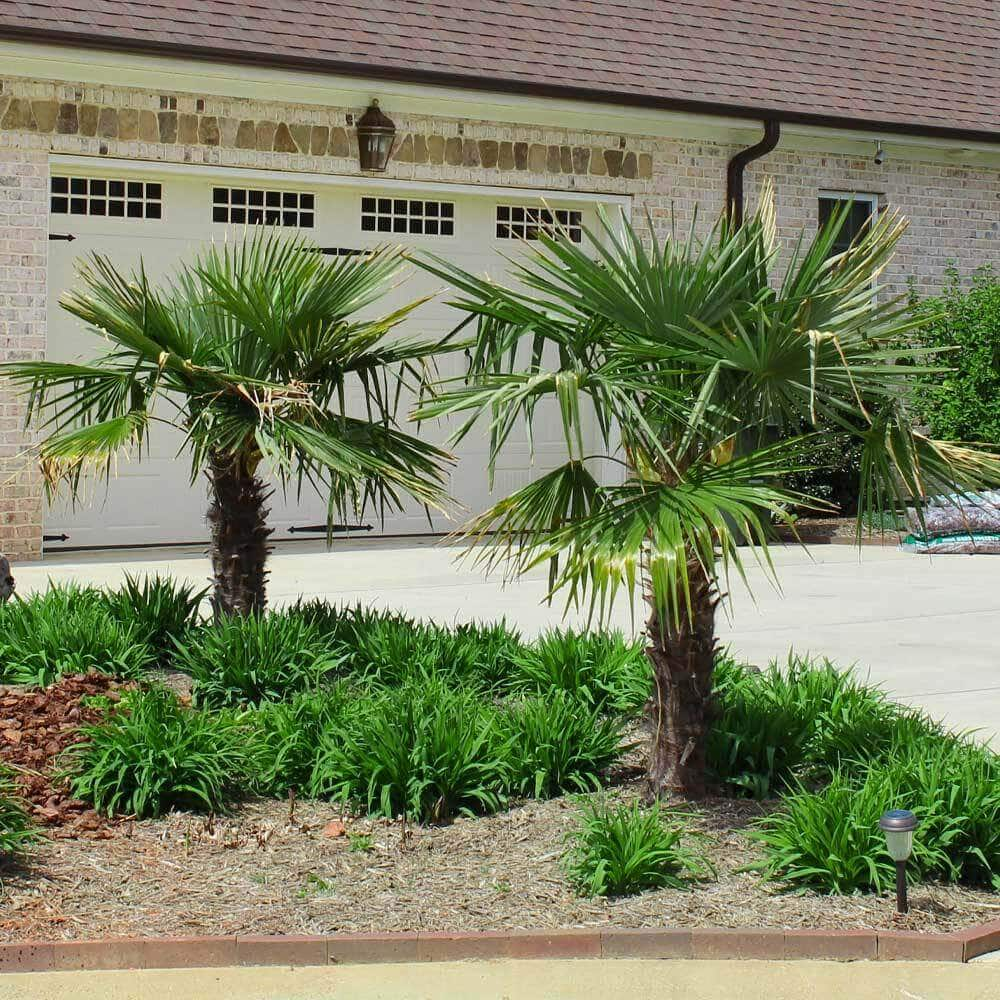 Windmill Palm Trees for Sale at Fast Growing Trees