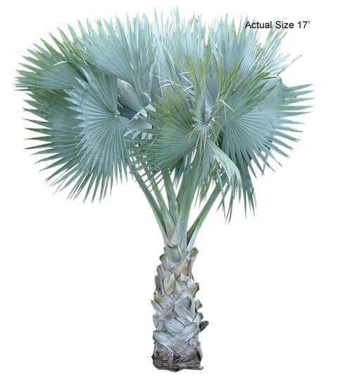 bismarck palm trees for sale at Real Palm Trees
